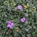 2009 04 07 Premier boutons de fleurs d'aubriètes