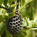 La guèpe et son nid