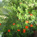 Hibiscus du jardin (Sénégal)