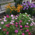 2009 08 03 Cosmos, rudbeckia et phlox en fleurs