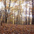 2009 10 31 Dans un bois de Fayards (hêtre) avec un par terre de feuilles d'automne
