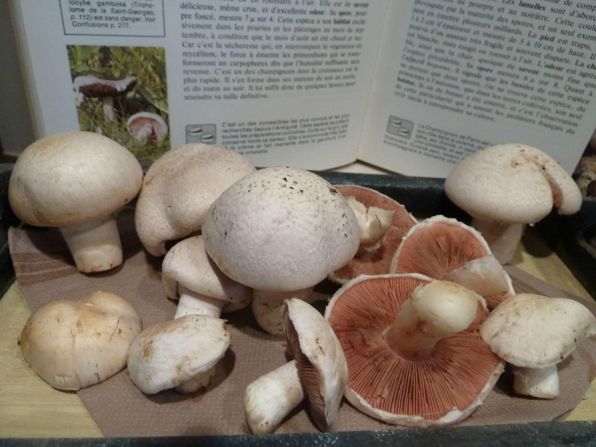 champignons petits roses des prés de mon jardin - www.passionpotager.canalblog.com