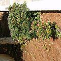 Arbuste aux piments