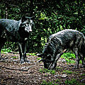 France. LOUPS. Parc Alpha. Massif du <b>Mercantour</b>.