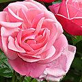 Les roses de l'été 2021