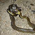 couleuvre desculape (1)