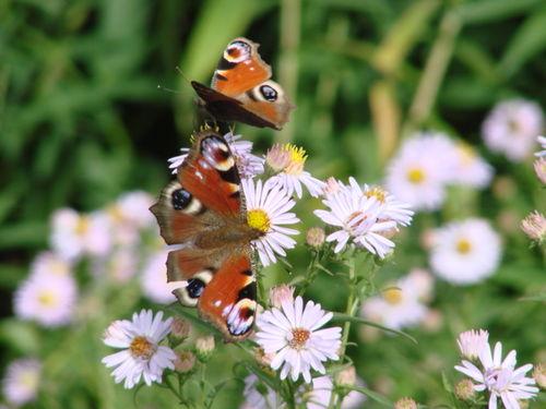 2008 09 18 Deux papillon sur des asters