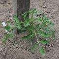 2009 05 09 Un plant de tomate sous la serre