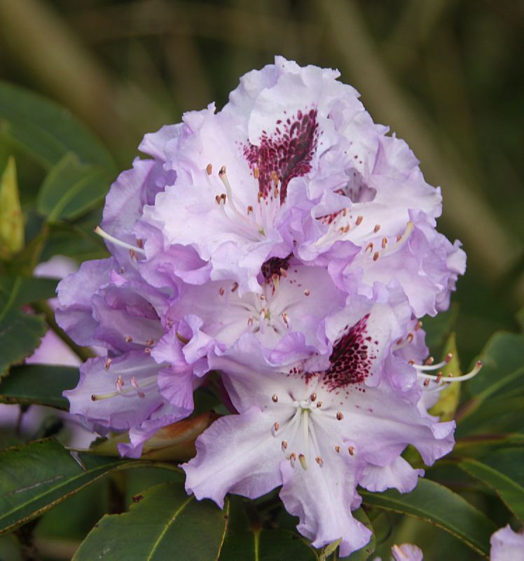 Rhododdendron X Blue Peter