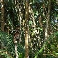Pteroglossus aracari - Araçari grigri