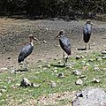 marabouts au lac Ziway