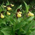 Orchidées d'Ici