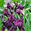Iris de rocaille 'baby prince'