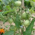 2008 07 02 Mes tomates coeur de boeuf sous serre