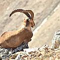 Yogi ibex