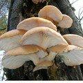 polypore soufré (Laetiporus sulphureus)