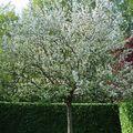 Pommier normand : printemps
