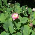 Des lotus