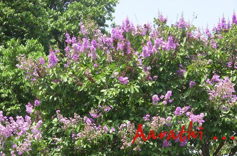 Jarul trees in full bloom (violet)