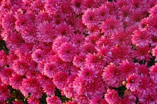 16-11-11 Les chrisantèmes rose