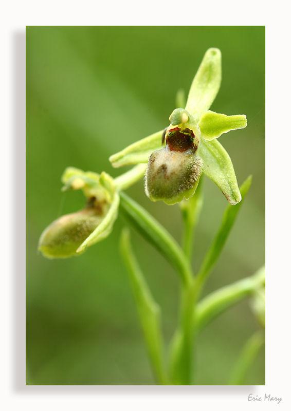Ophrys Litigieux