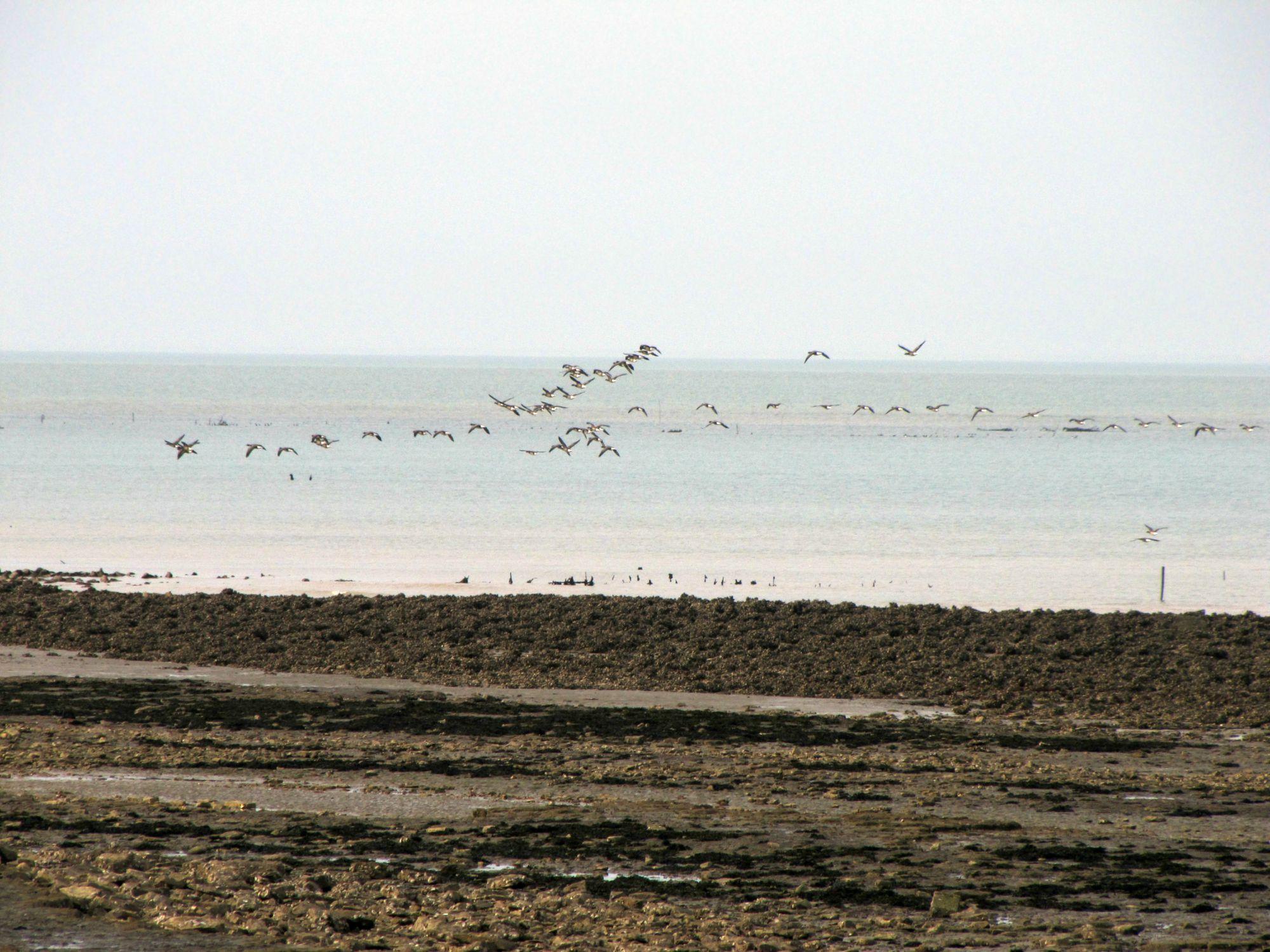 Oiseaux ile de re foto Mo2 (30)-h1500