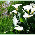 Arums Azur 250415