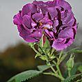 Fleur au jardin 2011 11 05 006