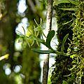 Epidendrum cremersii