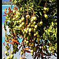 Mango's ballast