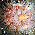 Dahlia de mer (Urticina felina)
