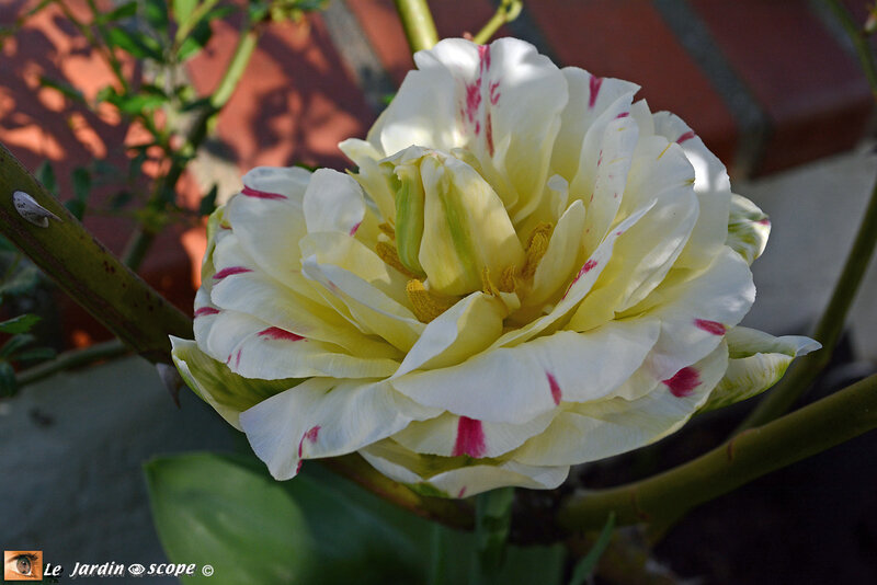 Tulipe-tardive-Carnaval