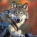 ETATS-UNIS - Le Loup revient dans le Colorado... après 75 ans d'absence !