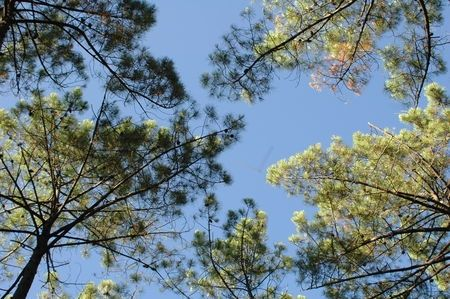 Les pins landais de mon enfance