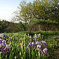 Iris sauva