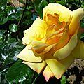 Rose 21051617