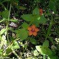 Une adventice annuelle aux petites fleurs rouge-orangé