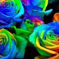 Rose multi