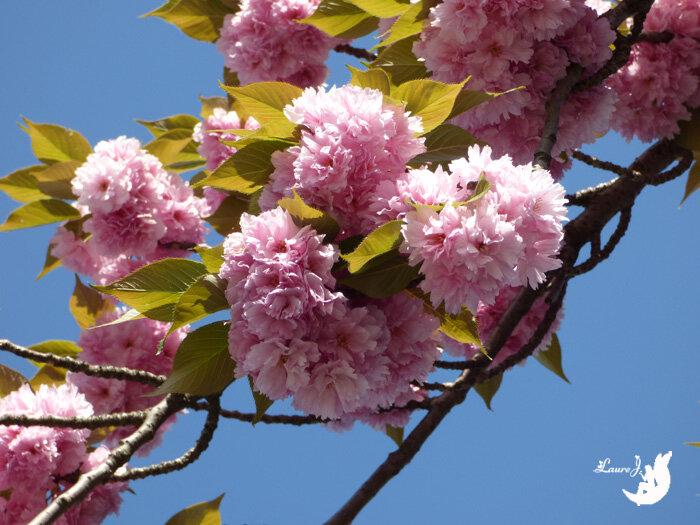 cerisier du japon Kanzan 6