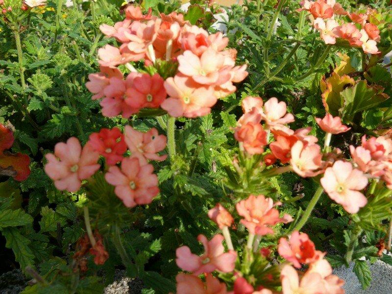 Verveine fleur du jardin