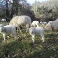 Les agneaux grandissent ...