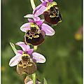 <b>Ophrys</b> <b>bourdon</b> : <b>Ophrys</b> fuciflora