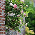 Le rosier de mon petit jardin...