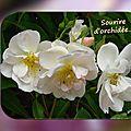 balanicole_2016_02_fevrier_rosiers1_57_sourire orchidee1