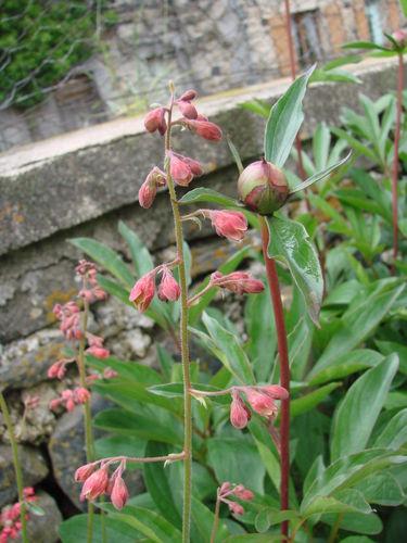2008 06 11 Un bouton de fleur de pivoine et un d'heuchera