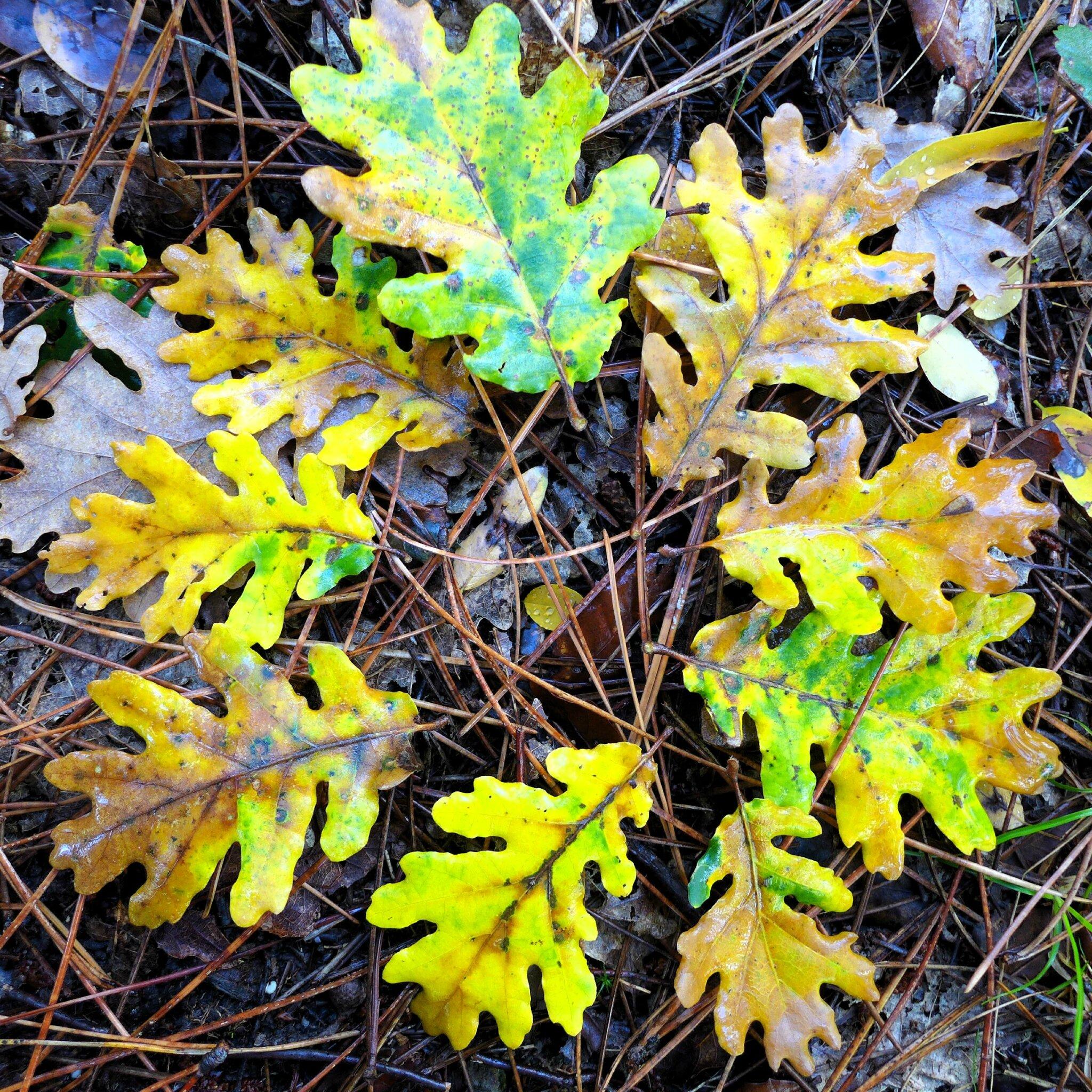 huit feuilles de chène yurtao
