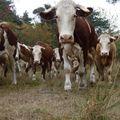 2009 09 11 Les vaches surprisent par le photographe