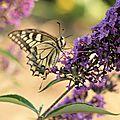 Le buddleia est vraiment l'arbre au papillons...!