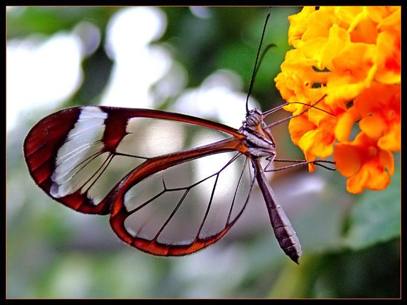 papillon transparent3