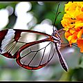 papillon transparent3